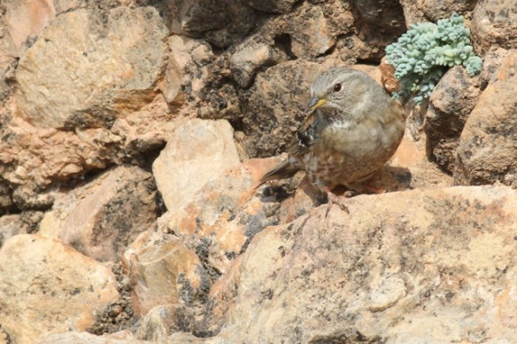 Alpine accentor still near plant, 2 November 2014