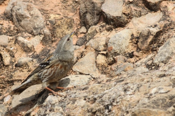 Alpine accentor still on rock, 2 November 2014