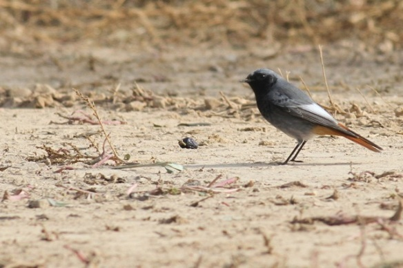 Black redstart male, Bierge, 31 October 2014