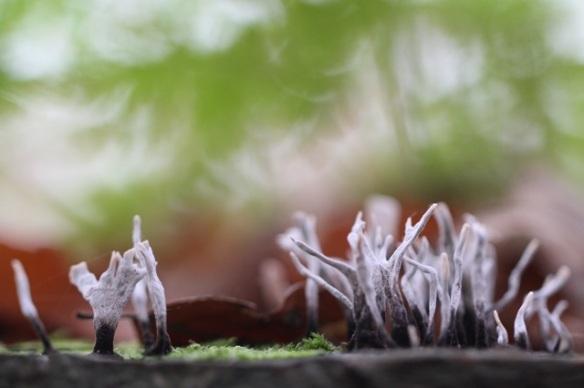Candlesnuff fungus, on 23 November 2014