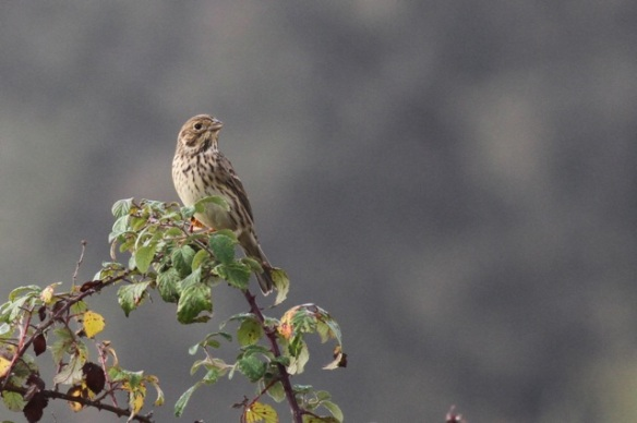 Cirl bunting female, 31 October 2014