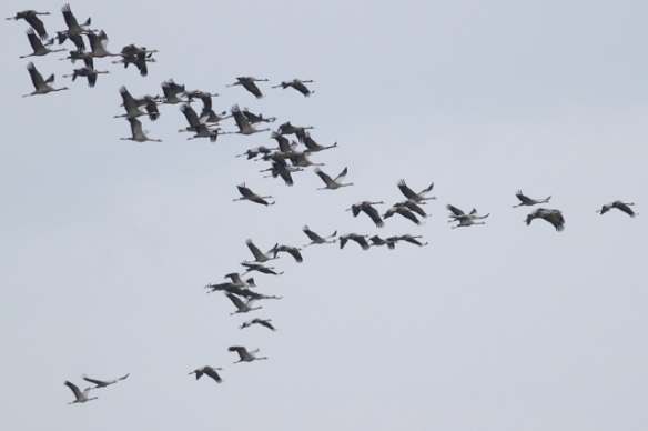 Cranes flying, Spain, 2 November 2014