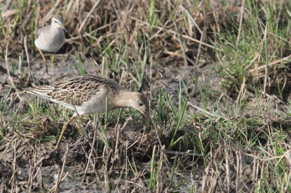Female and male ruff, 30 October 2014