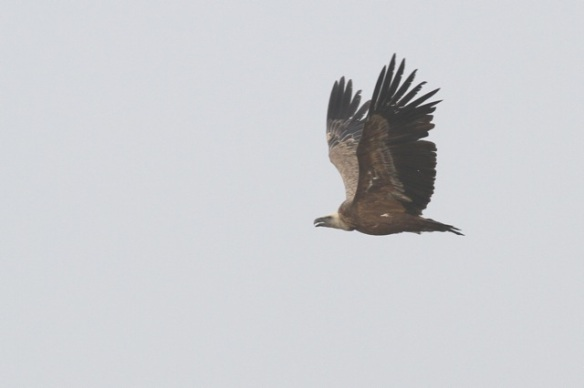Griffon vulture, 31 October 2014