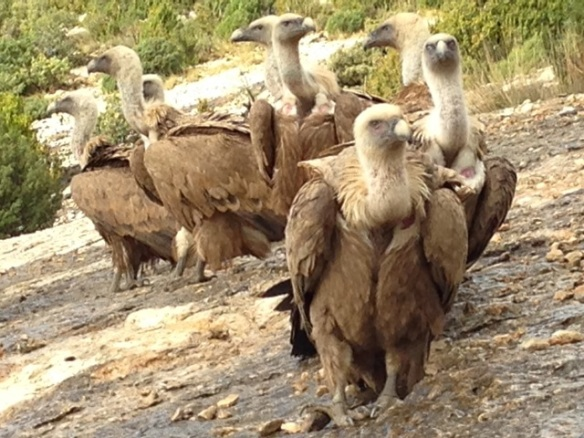 Griffon vultures, 4 November 2014