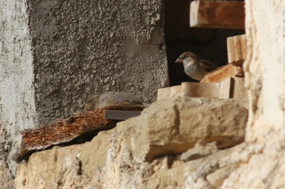 House sparrow male in Riglos, 2 November 2014
