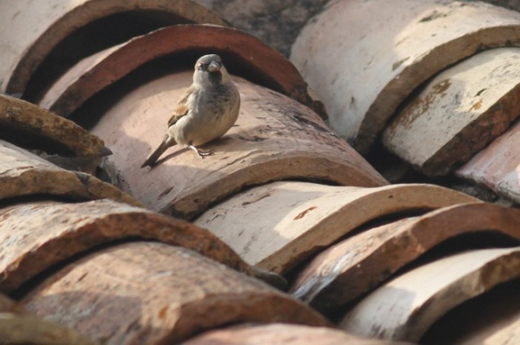 House sparrow male, Riglos, 2 November 2014
