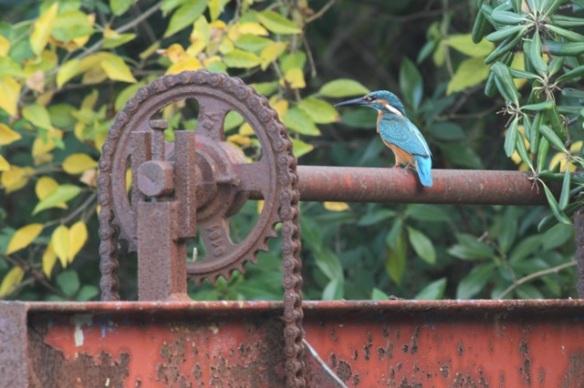 Kingfisher, 30 October 2014