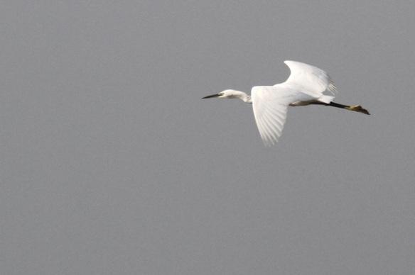 Little egret flying, 30 October 2014