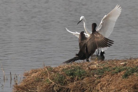 Little egret landing, 30 October 2014