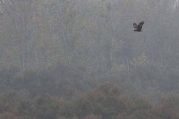 Marsh harrier, 2 November 2014
