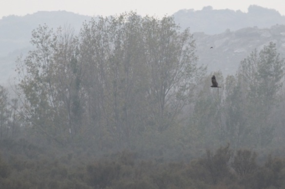 Marsh harrier, Spain, 2 November 2014