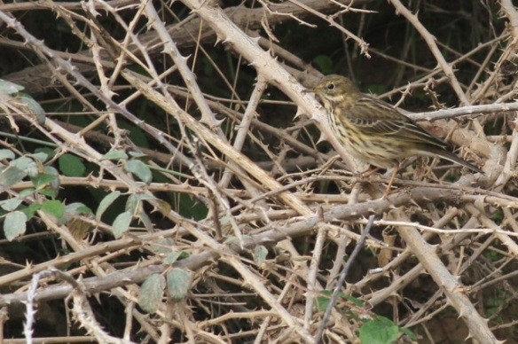Meadow pipit, on bush, 31 October 2014
