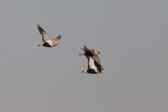 Pin-tailed sandgrouse flying, Spain