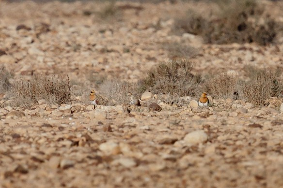 Pin-tailed sandgrouse, Spain