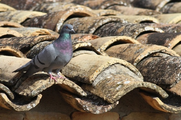 Rock pigeon, 31 October 2014