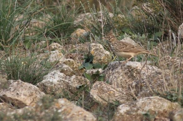 Thekla lark, Aragon, 3 November 2014