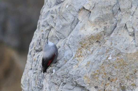 Wallcreeper, 1 November 2014