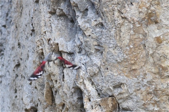 Wallcreeper flying, 1 November 2014