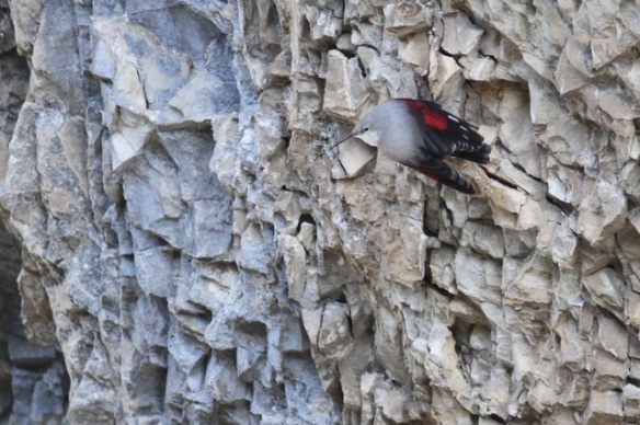 Wallcreeper looking sideways, 1 November 2014
