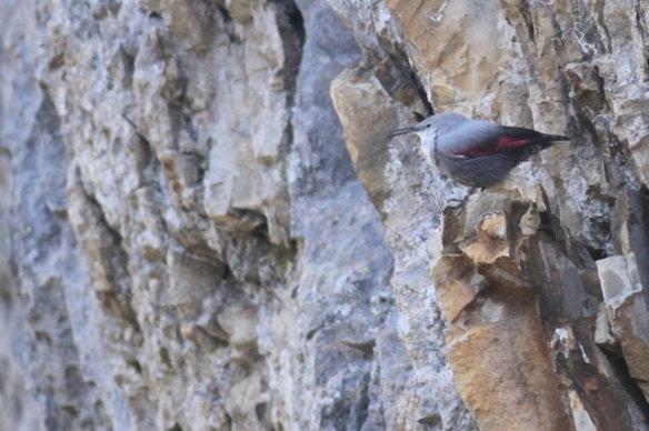 Wallcreeper singing, 1 November 2014
