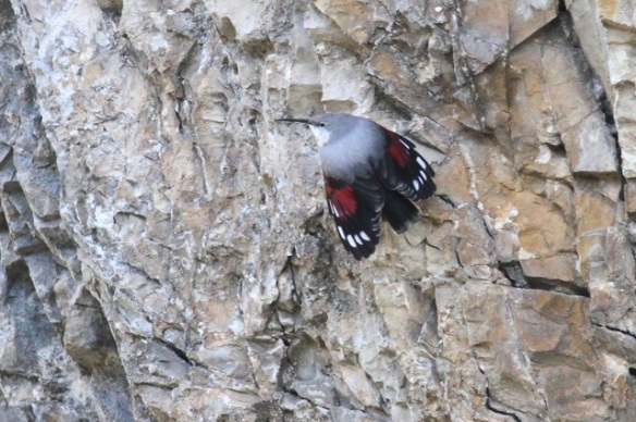 Wallcreeper spreading wings again, 1 November 2014