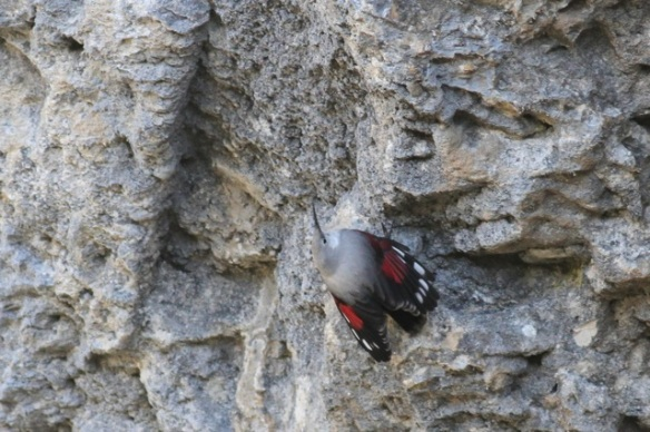 Wallcreeper spreads wings, 1 November 2014