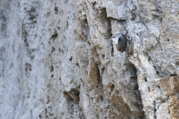 Wallcreeper still looking sideways, 1 November 2014
