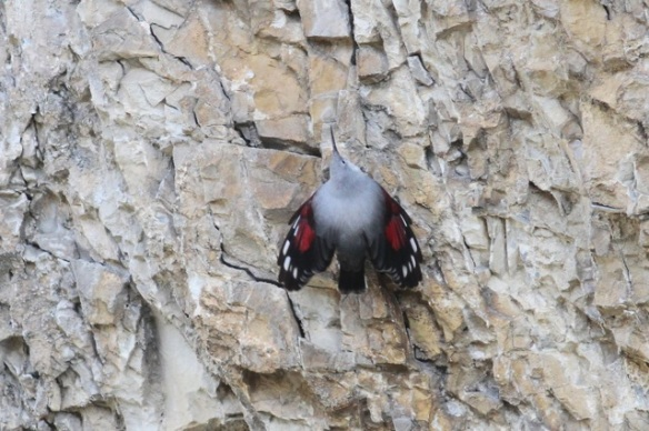 Wallcreeper still spreading wings, 1 November 2014