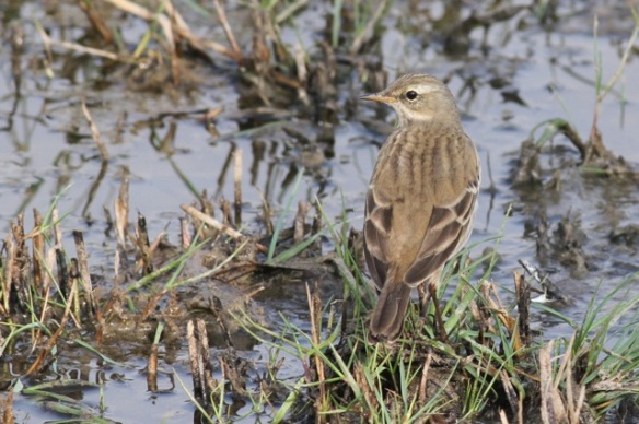 Water pipit, 30 October 2014