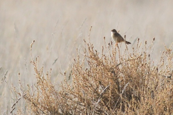 Zitting cisticola, on 2 November 2014
