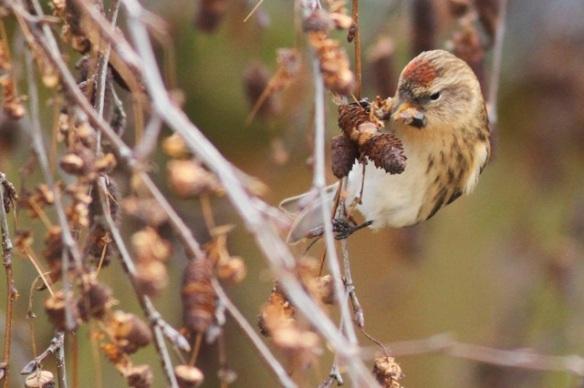 Lesser redpoll and birch catkins, 29 December 2014