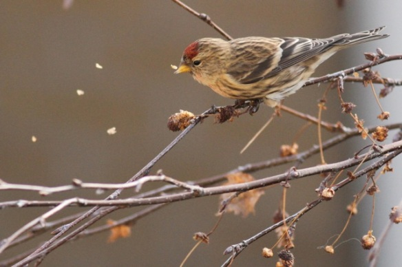 Lesser redpoll still on birch  tree, 29 December 2014