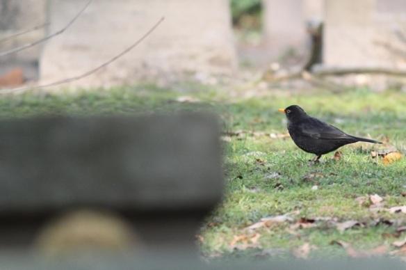 Blackbird male, 15 February 2015