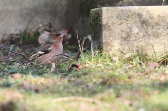 Chaffinch male, 15 February 2015