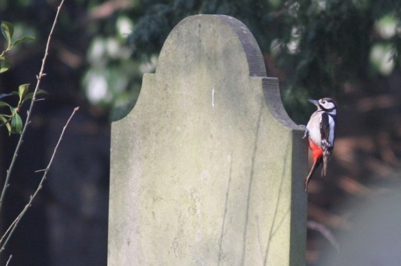 Great spotted woodpecker, 15 February 2015