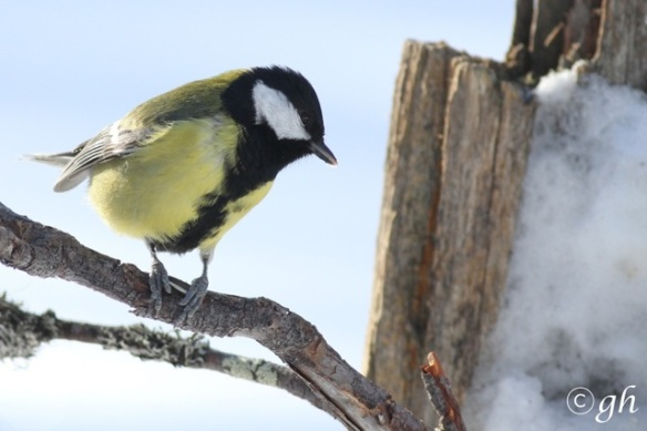 Great tit, 13 March 2015