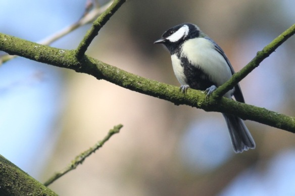 Great tit, 15 February 2015