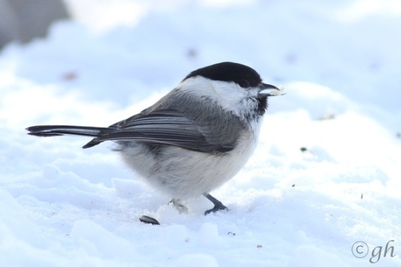Willow tit in the snow, 13 March 2015