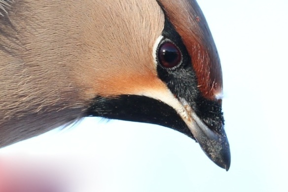 Bohemian waxwing, 11 March 2015