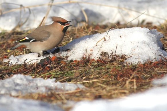 Bohemian waxwing and berry, 11 March 2015