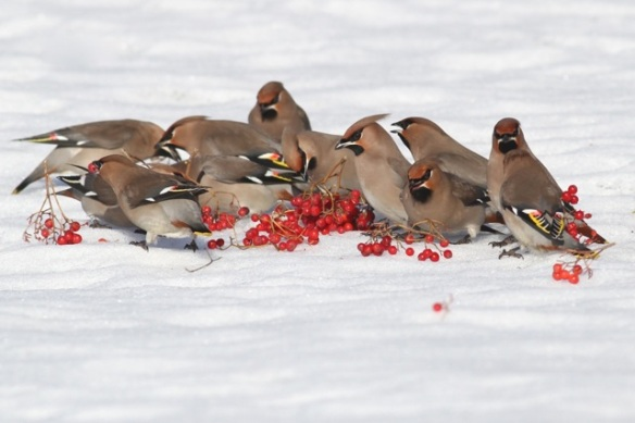 Bohemian waxwings and berries on the ground, 11 March 2015