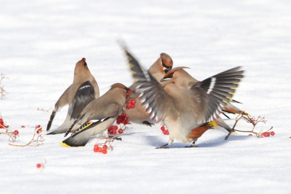 Bohemian waxwings and berries still on the ground, 11 March 2015