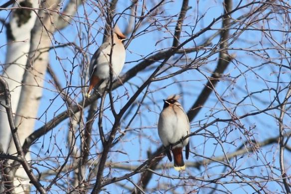 Bohemian waxwings in trees, 11 March 2015
