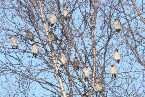 Bohemian waxwings in trees again, 11 March 2015