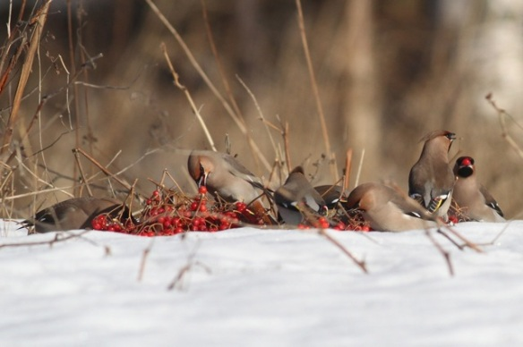 Bohemian waxwings on ground, 11 March 2015