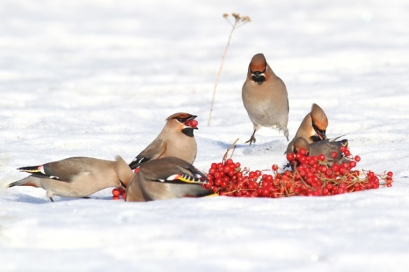 Bohemian waxwings, one eating two berries, 11 March 2015