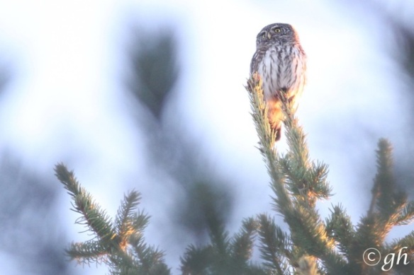 Eurasian pygmy owl, 11 March 2015