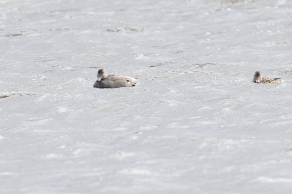 Gadwall couple, 21 March 2015