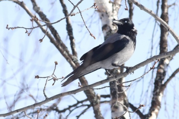 Hooded crow, 12 March 2015